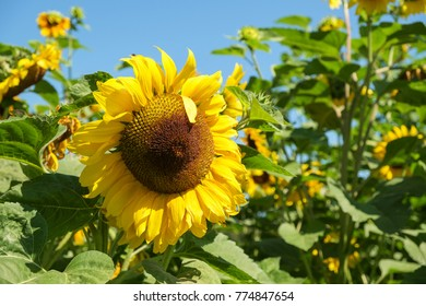 Large yellow sunflower head against green leaves and clear blue sky
