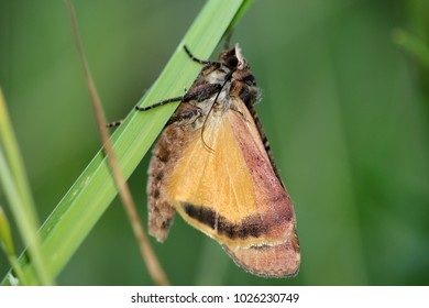 Large yellow underwing, moth