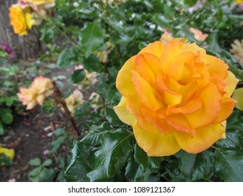 "Large yellow-pink rose flower of a sort ""Westerland"" close-up. Beautiful elegant orange rose on a blurry background flowerbed in the garden or park"