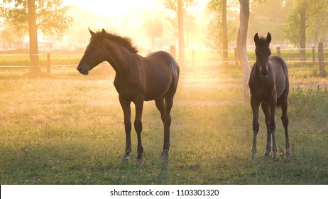 Large and young horses graze in a tranquil grassy field on a breathtaking golden lit summer evening. Beautiful morning sunlight shines on a herd of chestnut colored horses feeding on a beautiful ranch