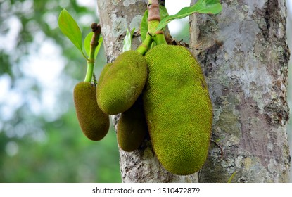 large young jackfruit on a tree ready to be harvested, jackfruit on a tree with a blur background.