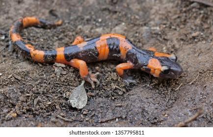 Large-blotched Ensatina Salamander (Ensatina eschscholtzii klauberi)