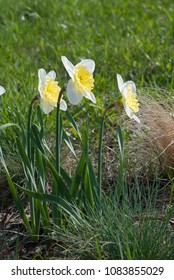 Large-cupped Daffodil Ice Follies (narcissus) flowers in the rock garden, Latvia, Europe