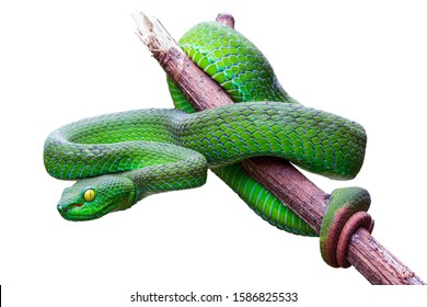Large-eyed Pit Viper or Trimeresurus macrops, beautiful green snake coiling resting on tree branch with white background and clipping path.