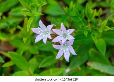 Largeflower pusley (Richardia grandiflora), nicknamed Florida Snow, purple flowers closeup - Hollywood, Florida, USA