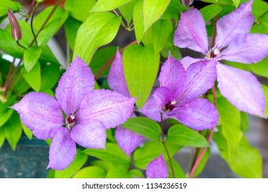 Large-Flowered Clematis (Clematis x jackmanii)