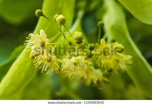 Largeleaf linden tree bloom in green macro detail