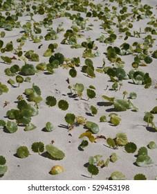 Largeleaf Pennywort on australian sand dune