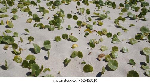Largeleaf Pennywort on coastal sand dune
