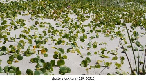 Largeleaf Pennywort vines in australian coastal dune