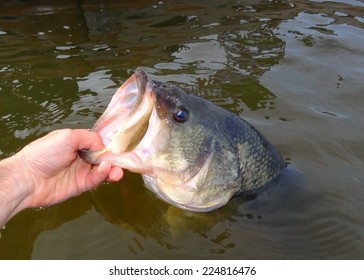 Largemouth Bass - being held prior to release