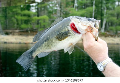 Largemouth Bass Closeup with a lake and trees in the background