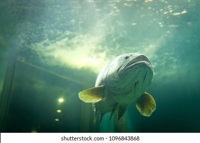 Largemouth bass fish in deep blue sea. The ocean animal concept
