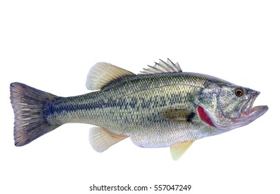 Largemouth Bass Isolated (Micropterus salmoides)