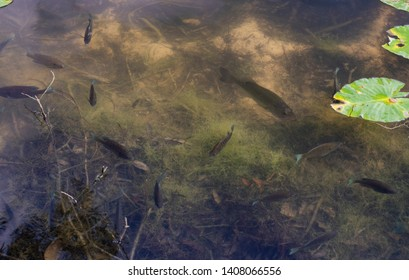 A largemouth bass lurking in a school of spawning bream in their natural habitat, a freshwater pond in Louisiana.