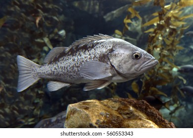 Largemouth bass (Micropterus salmoides) -fish living in flowing fresh water