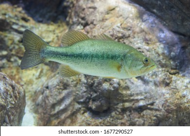 A Largemouth Bass, Micropterus salmoides, floats motionless