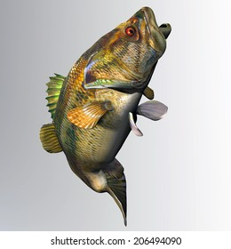Largemouth Bass Strike - The Largemouth Bass is a freshwater gamefish that is popular with anglers in North America.