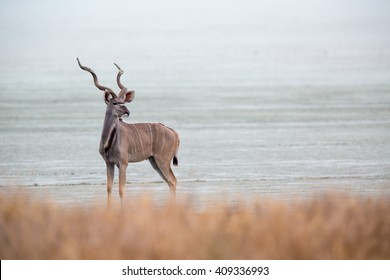 A larger kudu bull standing on the edge of the Etosha pan, looking back.