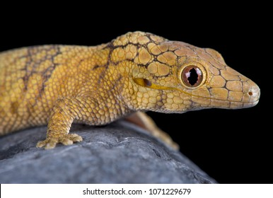 The Large-scaled chameleon gecko (Eurydactylodes symmetricus) is an endangered gecko species from New Caledonia.