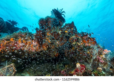 largespined glassfish aggregation swarm on a coral reef