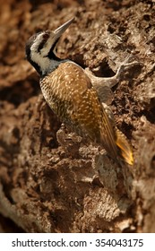 Largest african arboreal woodpecker Dendropicos namaquus Bearded Woodpecker on old trunk looking for insects. Nice example of cryptic coloration.  Vertical picture. Female.