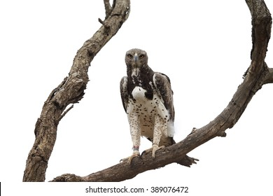 Largest african eagle isolated on white background. Martial eagle, Polemaetus bellicosus perched on dead tree with full crop, staring directly at camera. Kruger national park wildlife, South Africa.