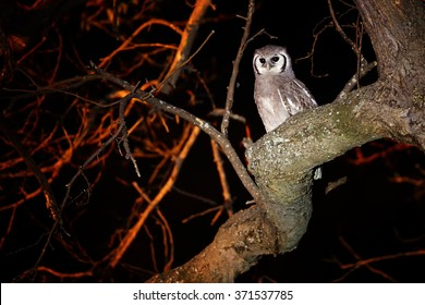 Largest african owl, Verreaux's Eagle Owl, Bubo lacteus perched on tree in night. Flash light and some orange illuminated branches in background. Botswana, Chobe region.