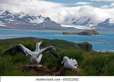 The largest bird of the southern Ocean, the magnificent giant wandering Albatross nests at South Georgia