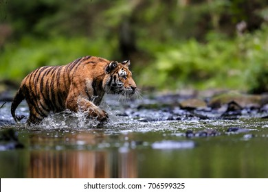 The largest cat in the world, Siberian tiger, hunts in a creek amid a green forest Top predator in a natural environment. Panthera Tigris Altaica.