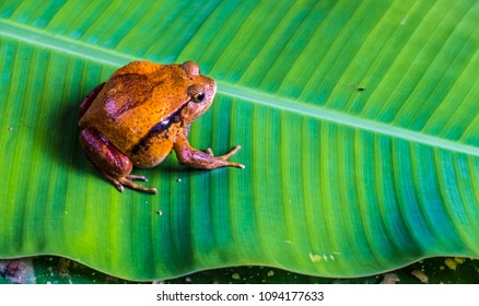 Largest frog species in Madagascar, non-venonmous like all malagasy amphibians, Andasibe National Park, Eastern Madagascar