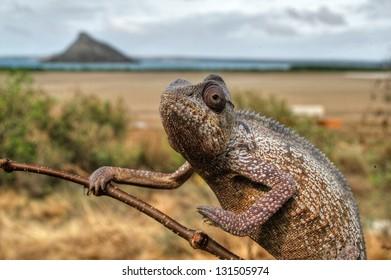 Largest of madagascar chameleons, Furcifer oustaleti.