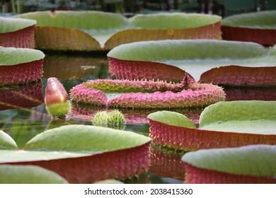 la plus grande des nénuphars Victoria amazonica de belles feuilles dans l'étang