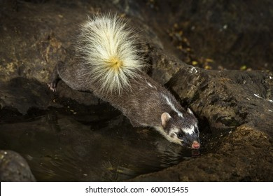 Large-toothed ferret badger close up eating water in the nature.