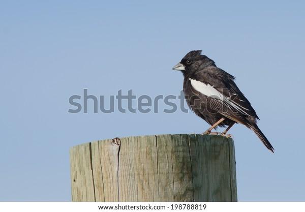 lark bunting state bird of colorado stock image shutterstock