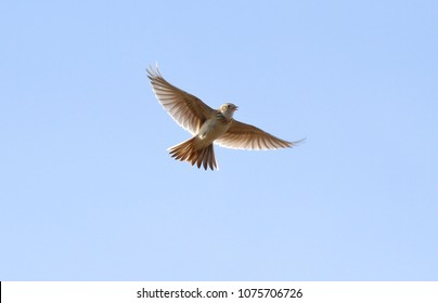 the lark flies and sings, straightening its wings in the blue sky