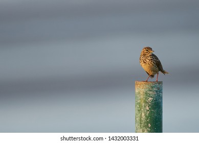 lark sits on a pole in front of blurred blue-grey background of the Wadden Sea during low tide