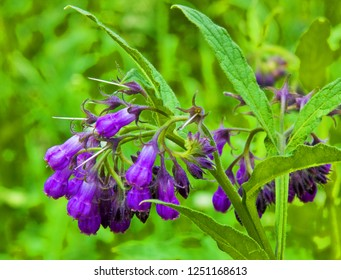 Larkspur or comfrey.  This plant belongs to medicinal herbs. It grows in shady places and woods.