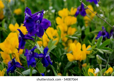 Larkspur and Golden Banner Rocky Mountain Wildflowers