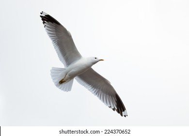 Larus canus, Common Gull. The photo was taken in the Kandalaksha Gulf of the White Sea. Russia, Murmansk region. Island Lodeinoe.
