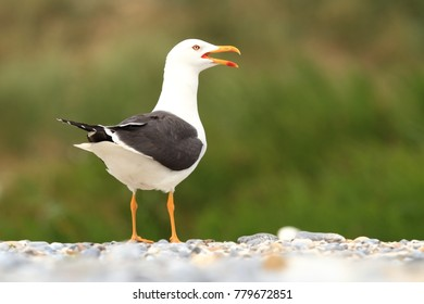 Larus fuscus. Beautiful nature of the North Sea. European wildlife. Germany, Helgoland. Bird on the beach. Seashore with stones. Beautiful picture. Green color in the photo.