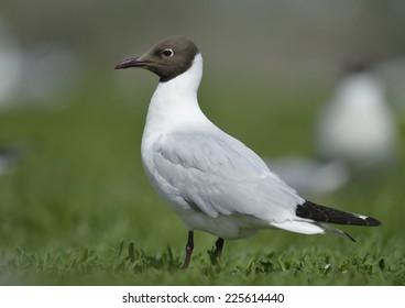 Larus ridibundus Black-headed Gull