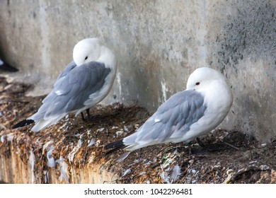 Larus (seagulls) in Alaska. Resting under a bridge.