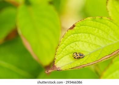 A larva of an Asian ladybird beetle