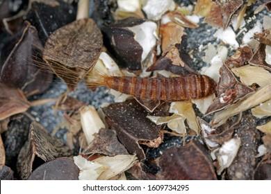 Larva of Attagenus pellio the fur beetle or carpet beetle from the family Dermestidae a skin beetles. On buckwheat seeds.