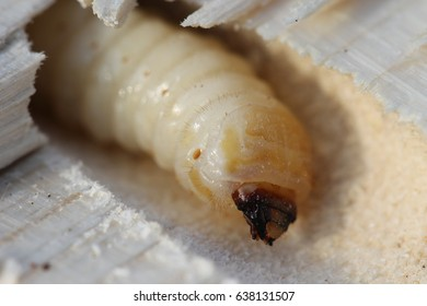Larva of bark beetle in a section of wood. An insect similar to an alien creature rested comfortably in a capsule. A macro shows the animal clearly and in detail. The Process of Rebirth