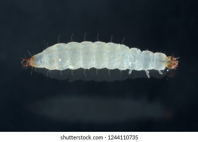 Larva of grain beetle Cryptolestes ferrugineus is a beetles of the family Laemophloeidae (lined flat bark beetles), known as economically important pests of stored products.