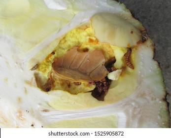 Larva of Jackfruit borer (Glyphodes caesalis) injure on jackfruit in Viet Nam. The jackfruit borer attacks the jackfruit at different stages of fruit development.