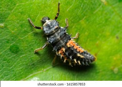 Larva of a ladybug. Scientific name Harmonia axyridis.