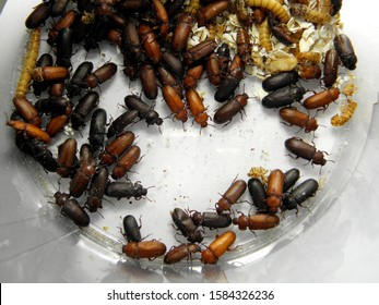 larva pupa and beetle of mealworm beetle Tenebrio molitor, a species of darkling beetle pest of grain and grain products as well as home products - Image